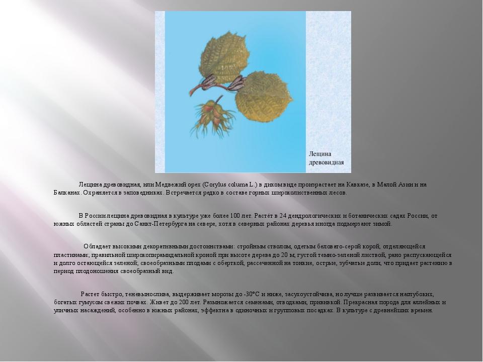 Лещина древовидная, или Медвежий орех (Corylus colurna L.) в диком виде прои...