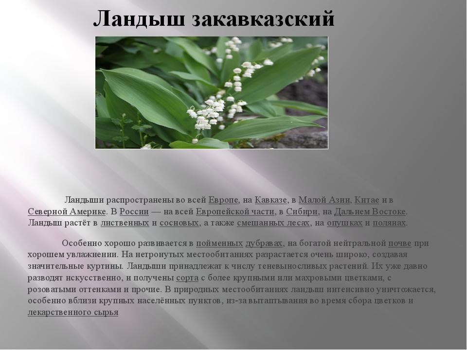 Ландыш закавказский Ландыши распространены во всей Европе, на Кавказе, в Мало...