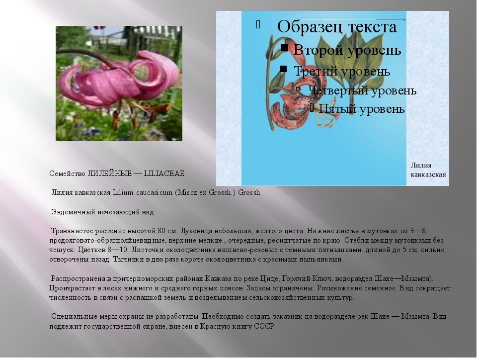 Семейство ЛИЛЕЙНЫЕ — LILIACEAE Лилия кавказская Lilium caucasicum (Miscz ex...