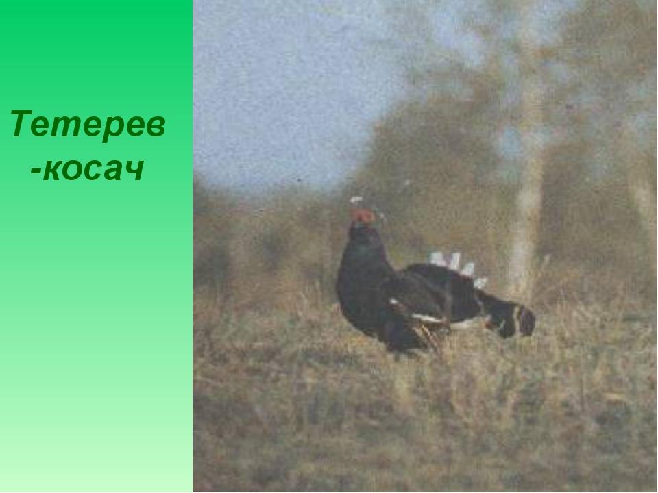Тетерев-косач