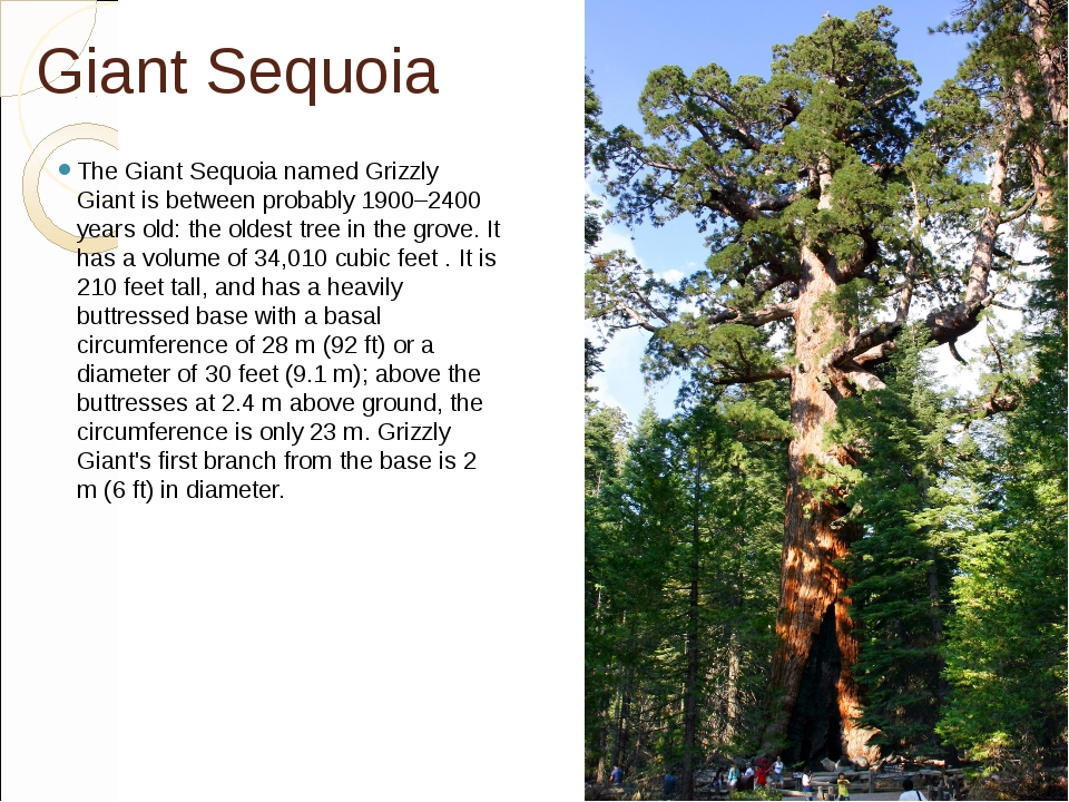 Giant Sequoia The Giant Sequoia named Grizzly Giant is between probably 1900–...