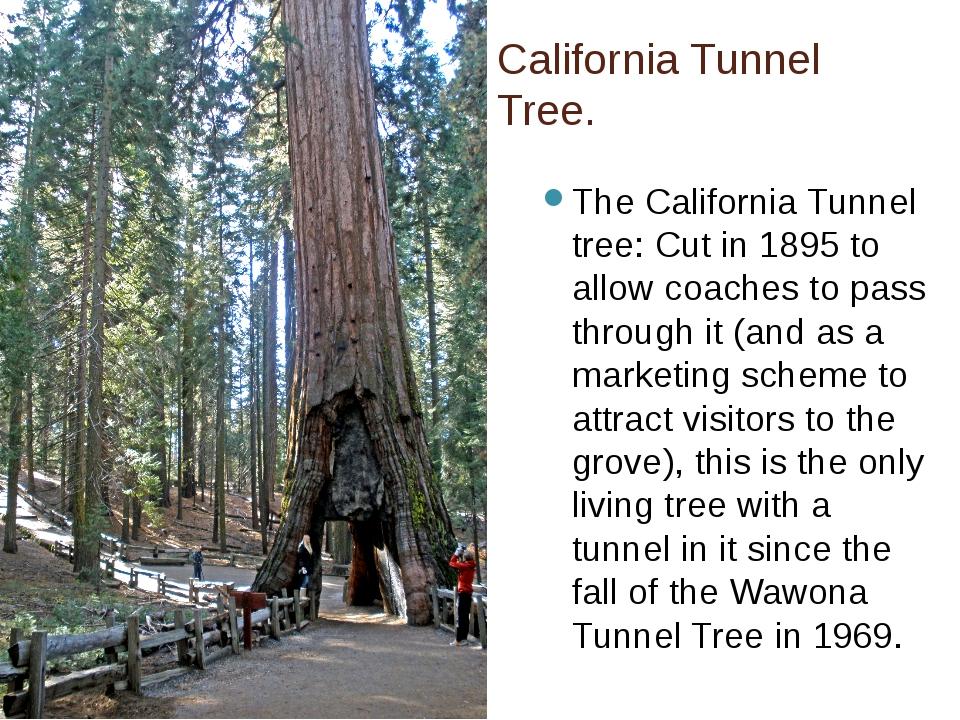 California Tunnel Tree. The California Tunnel tree: Cut in 1895 to allow coac...