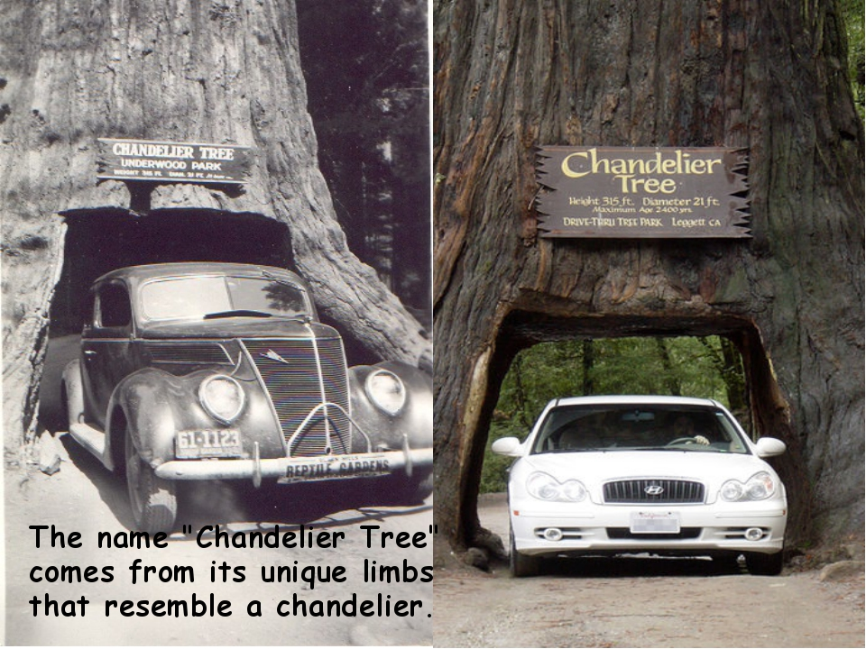 """The name """"Chandelier Tree"""" comes from its unique limbs that resemble a chande..."""
