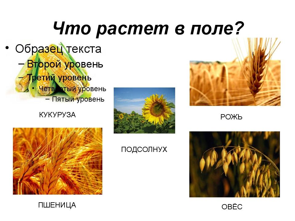 Что растет в поле? РОЖЬ КУКУРУЗА ПШЕНИЦА ОВЁС ПОДСОЛНУХ