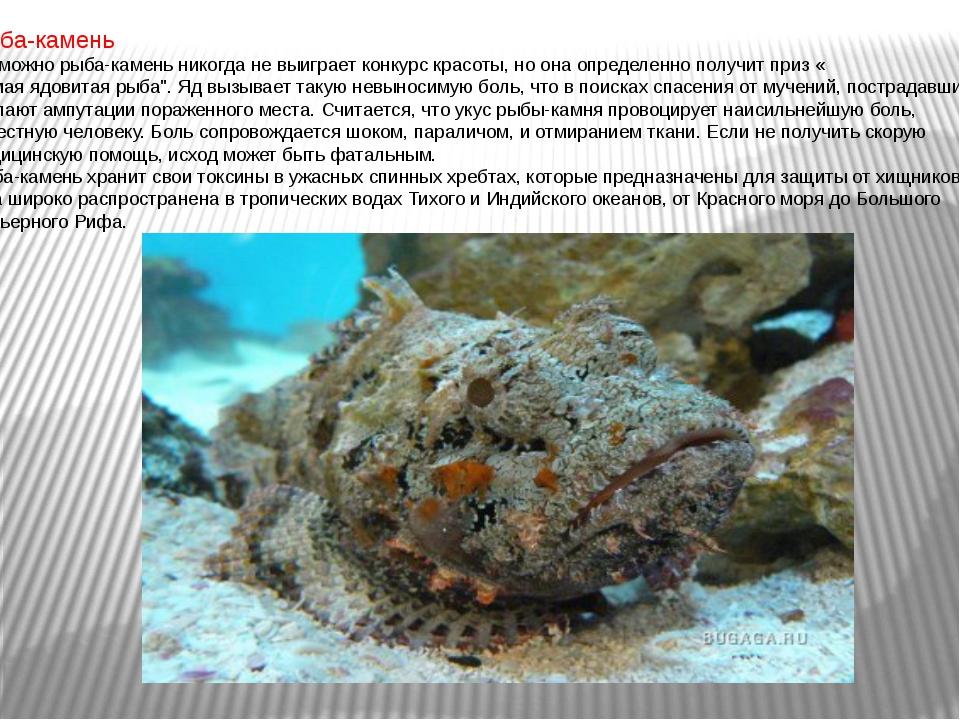 Рыба-камень Возможно рыба-камень никогда не выиграет конкурс красоты, но она...