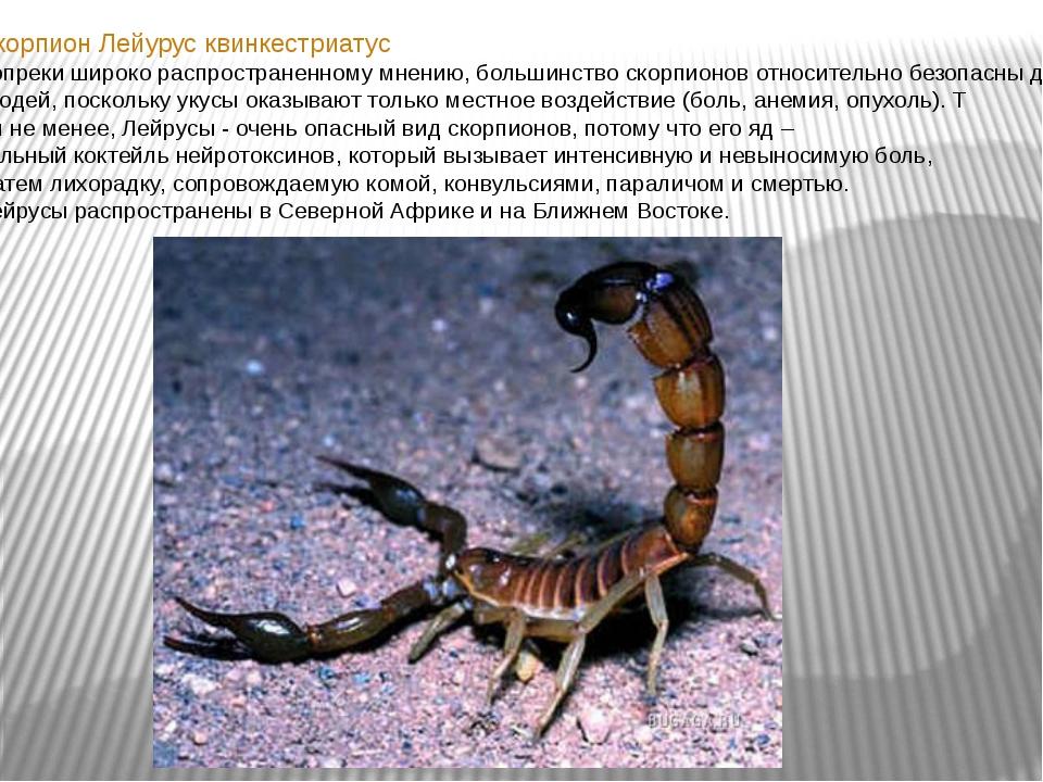 Скорпион Лейурус квинкестриатус Вопреки широко распространенному мнению, бол...
