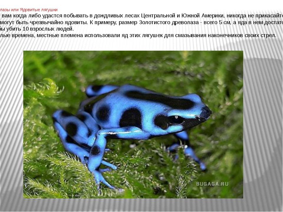 Древолазы или Ядовитые лягушки Если вам когда либо удастся побывать в дождли...