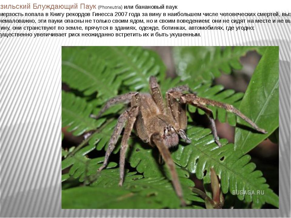Бразильский Блуждающий Паук (Phoneutria) или банановый паук Эта мерзость попа...