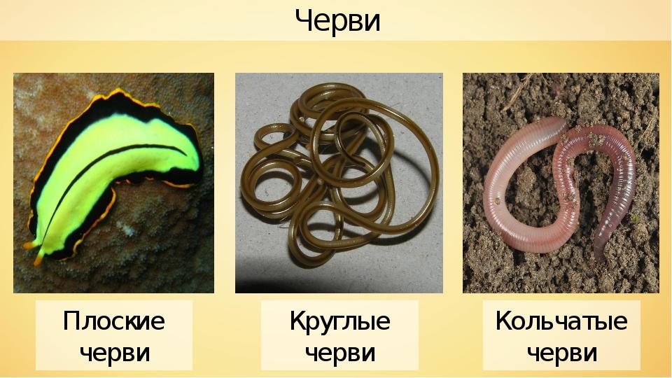 Черви Плоские черви Круглые черви Кольчатые черви