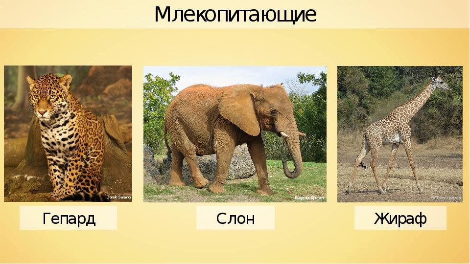 Млекопитающие Гепард Слон Жираф