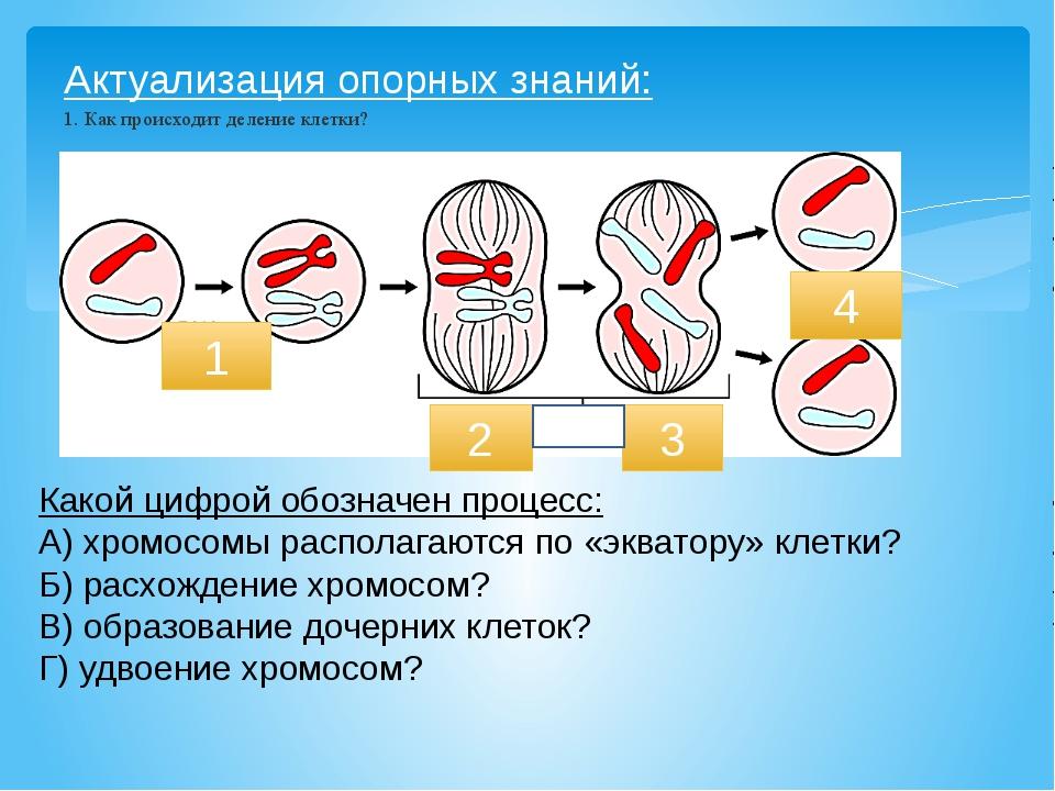 Актуализация опорных знаний: 1. Как происходит деление клетки? 1 2 4 Какой ци...