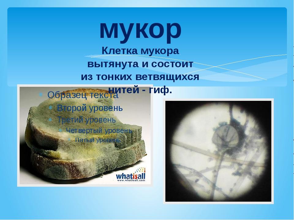 мукор Клетка мукора вытянута и состоит из тонких ветвящихся нитей - гиф.