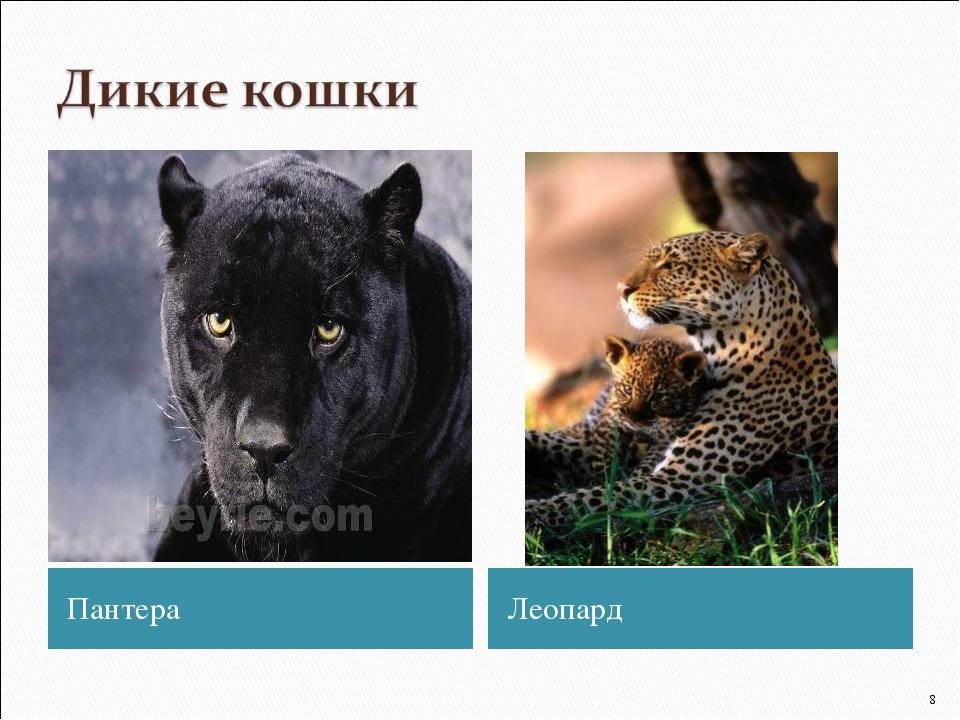 Пантера Леопард