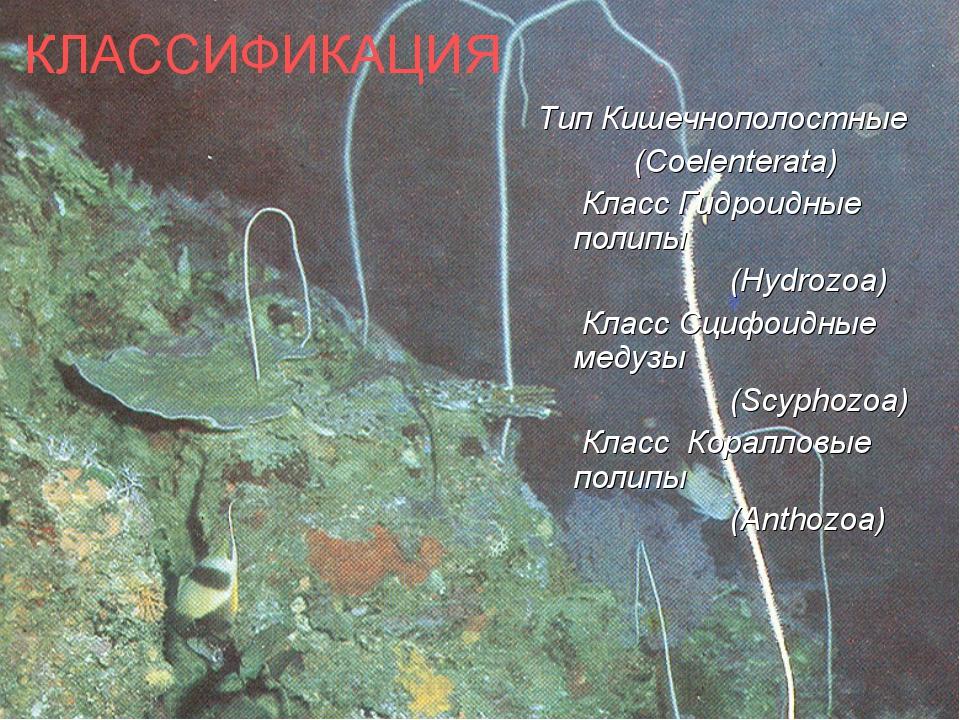 КЛАССИФИКАЦИЯ Тип Кишечнополостные (Coelenterata) Класс Гидроидные полипы...