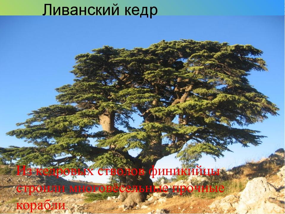 Ливанский кедр Из кедровых стволов финикийцы строили многовёсельные прочные к...