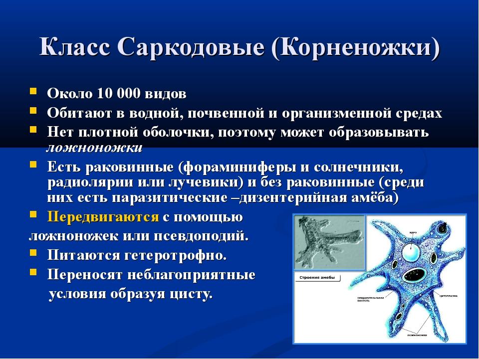 Класс Саркодовые (Корненожки) Около 10 000 видов Обитают в водной, почвенной...