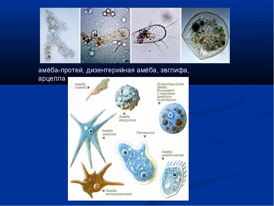 амёба-протей, дизентерийная амёба, эвглифа, арцелла