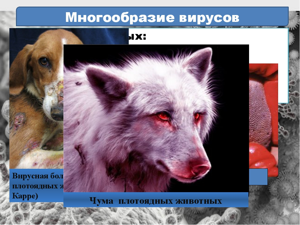 Многообразие вирусов Болезни животных: Ящур Инфекционная анемия лошадей Чума...
