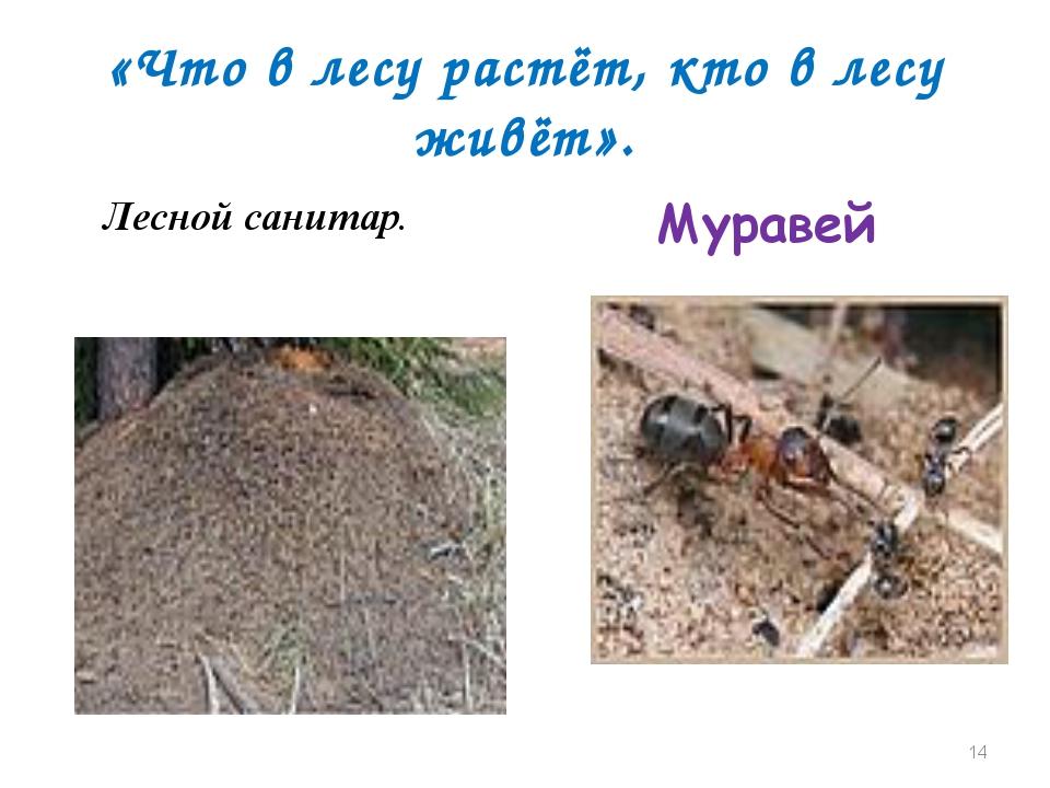 «Что в лесу растёт, кто в лесу живёт». Лесной санитар. Муравей *