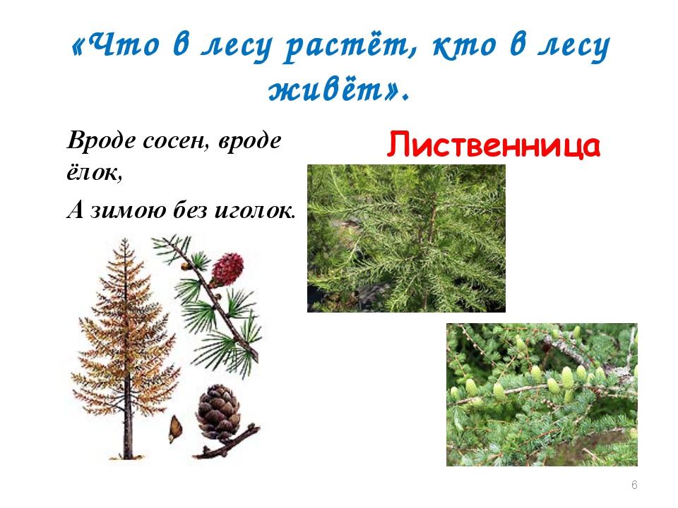 «Что в лесу растёт, кто в лесу живёт». Вроде сосен, вроде ёлок, А зимою без и...