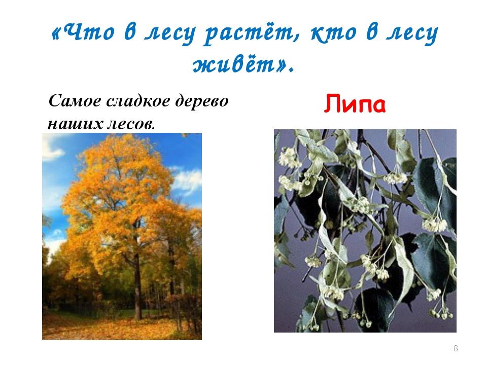 «Что в лесу растёт, кто в лесу живёт». Самое сладкое дерево наших лесов. Липа *