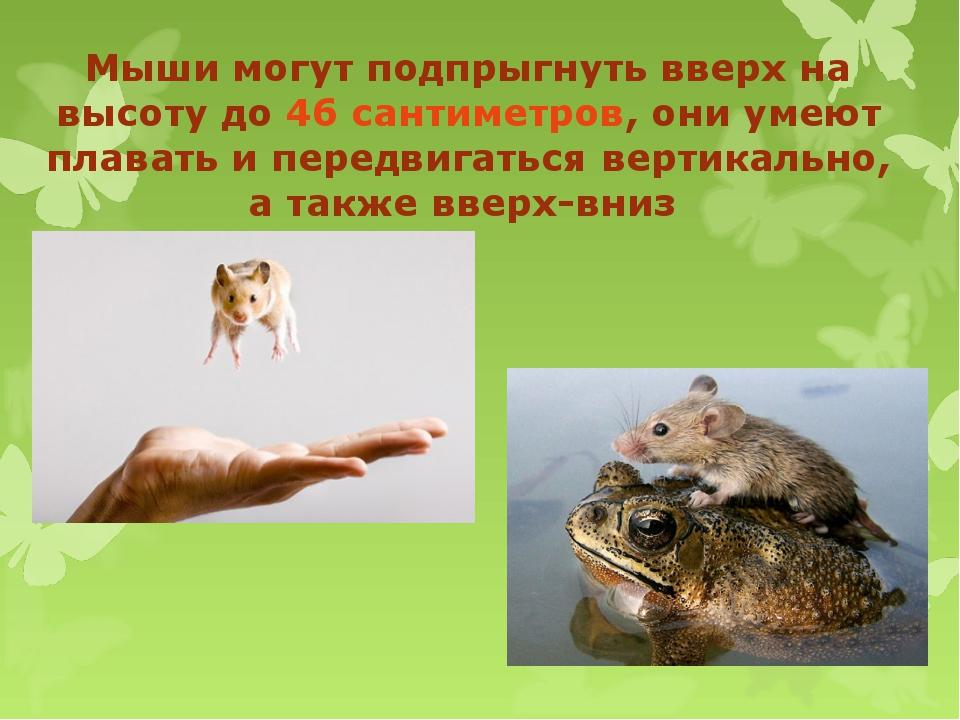 Мыши могут подпрыгнуть вверх на высоту до 46 сантиметров, они умеют плавать...