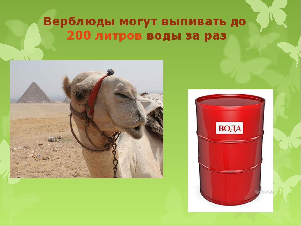 Верблюды могут выпивать до 200 литров воды за раз