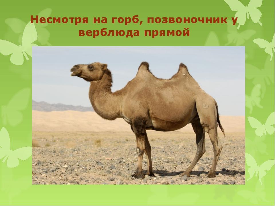 Несмотря на горб, позвоночник у верблюда прямой