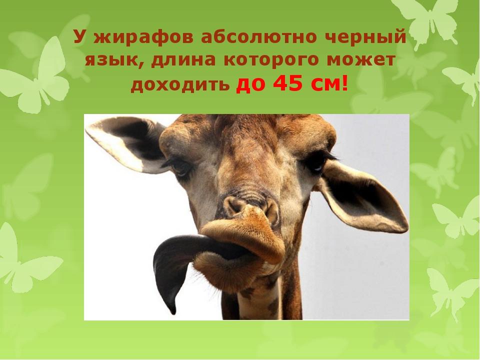 У жирафов абсолютно черный язык, длина которого может доходить до 45 см!