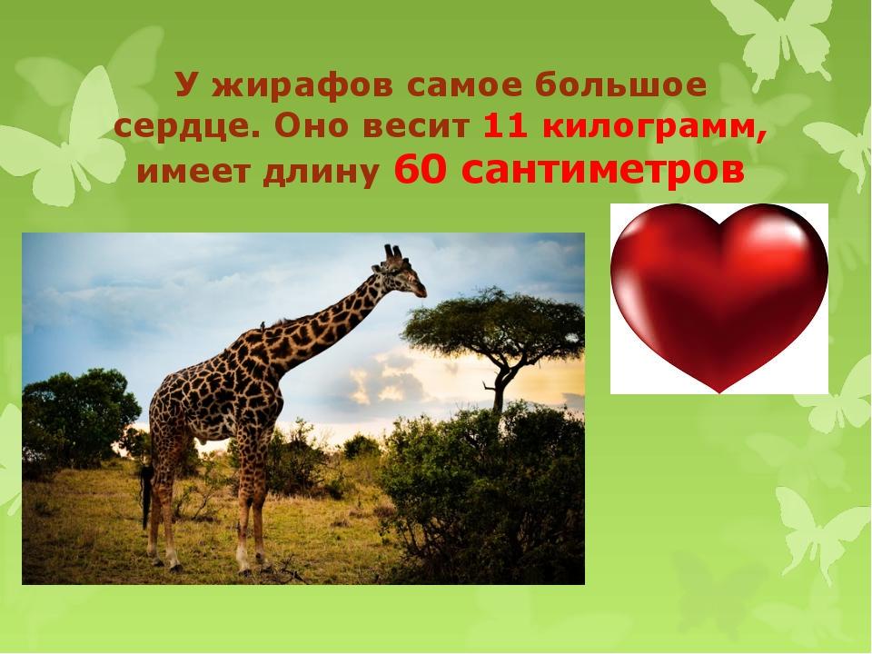 У жирафов самое большое сердце. Оно весит 11 килограмм, имеет длину 60 сантим...