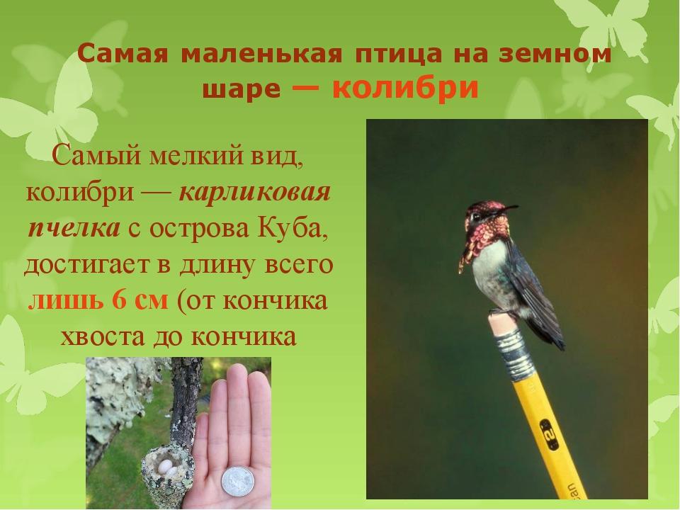 Самая маленькая птица на земном шаре — колибри Самый мелкий вид, колибри — к...