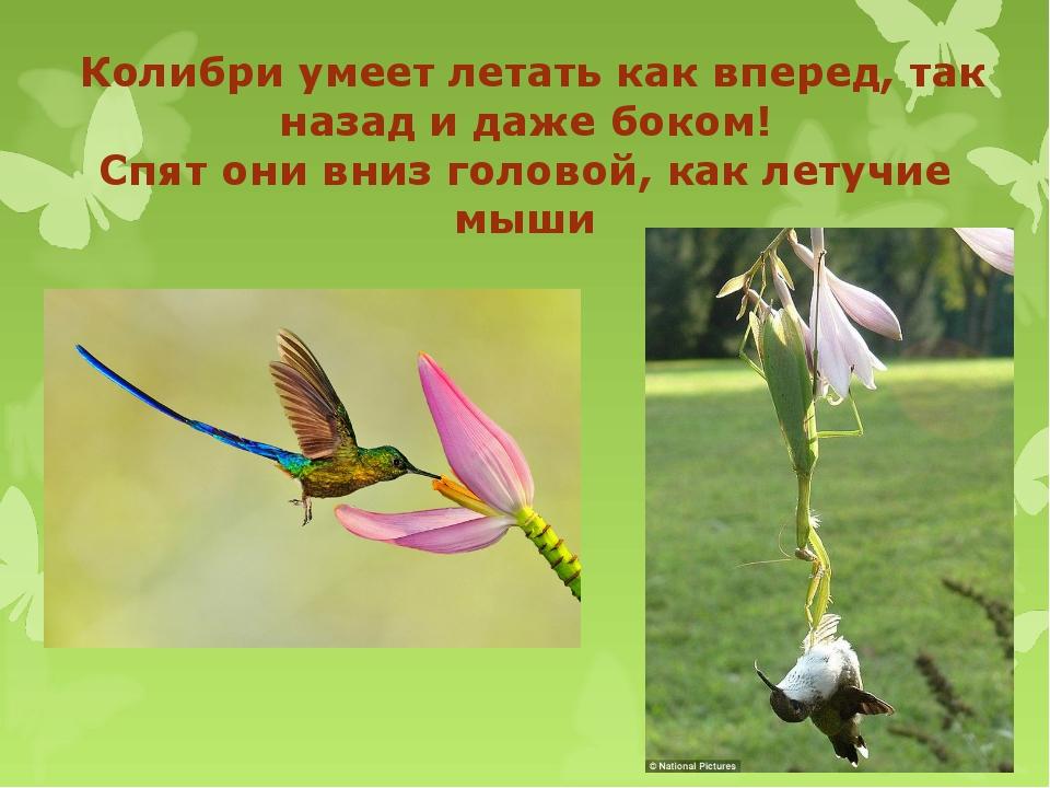 Колибри умеет летать как вперед, так назад и даже боком! Спят они вниз голов...