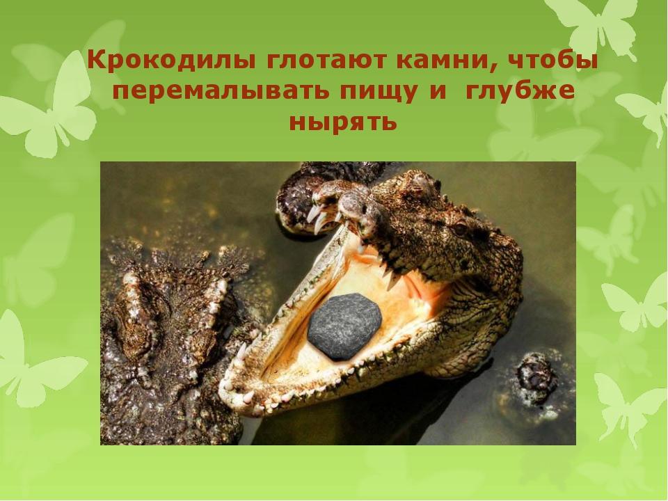 Крокодилы глотают камни, чтобы перемалывать пищу и глубже нырять
