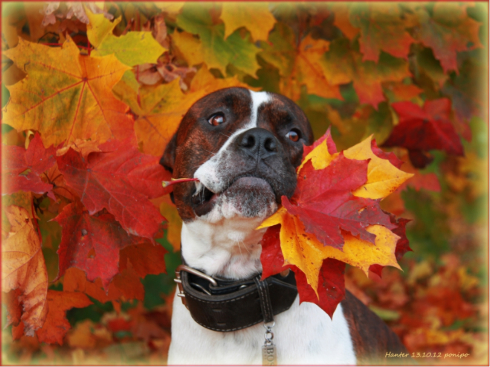картинка осенняя улыбка собаки раздвигает ноги