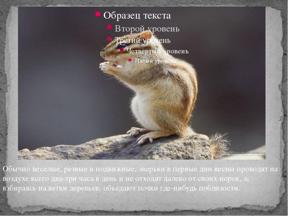 Обычно веселые, резвые и подвижные, зверьки в первые дни весны проводят на в...