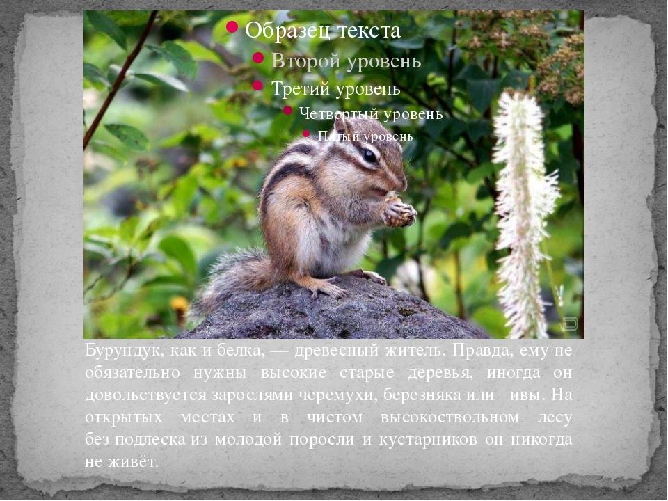Бурундук, как ибелка,— древесный житель. Правда, ему не обязательно нужны...