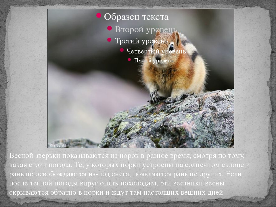 Весной зверьки показываются из норок в разное время, смотря по тому, какая с...