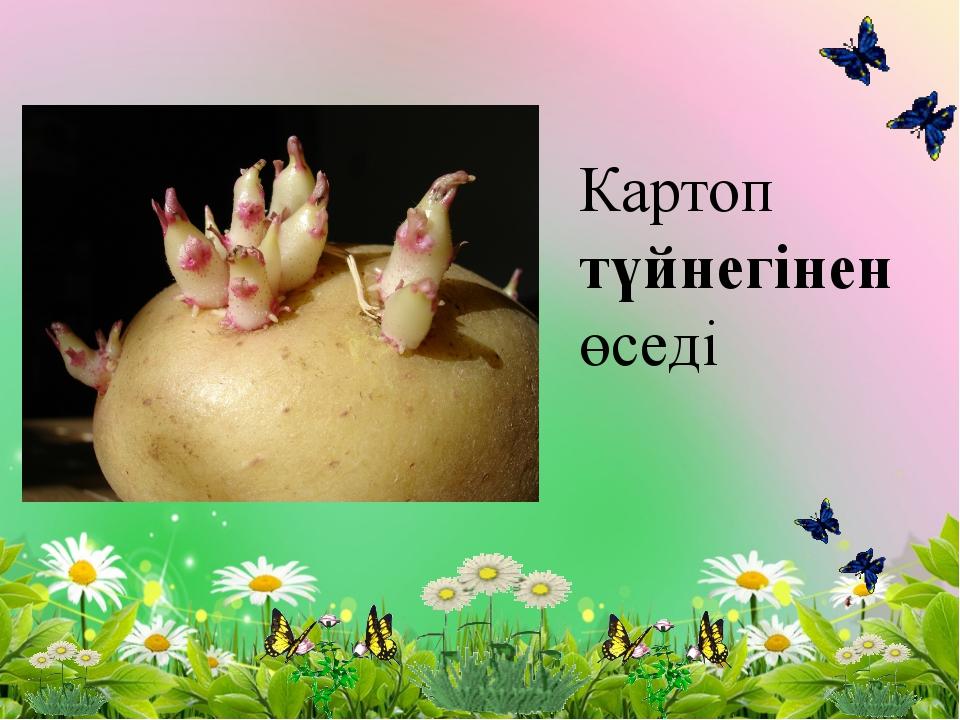 Картоп түйнегінен өседі