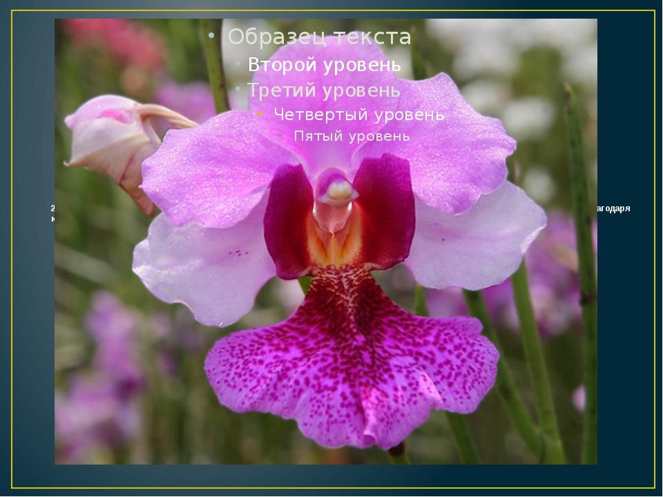 2. Национальным цветком Сингапура является орхидея Vanda Miss Joaquim, котора...