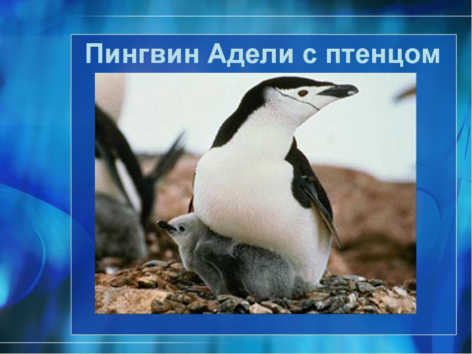 Пингвин Адели с птенцом