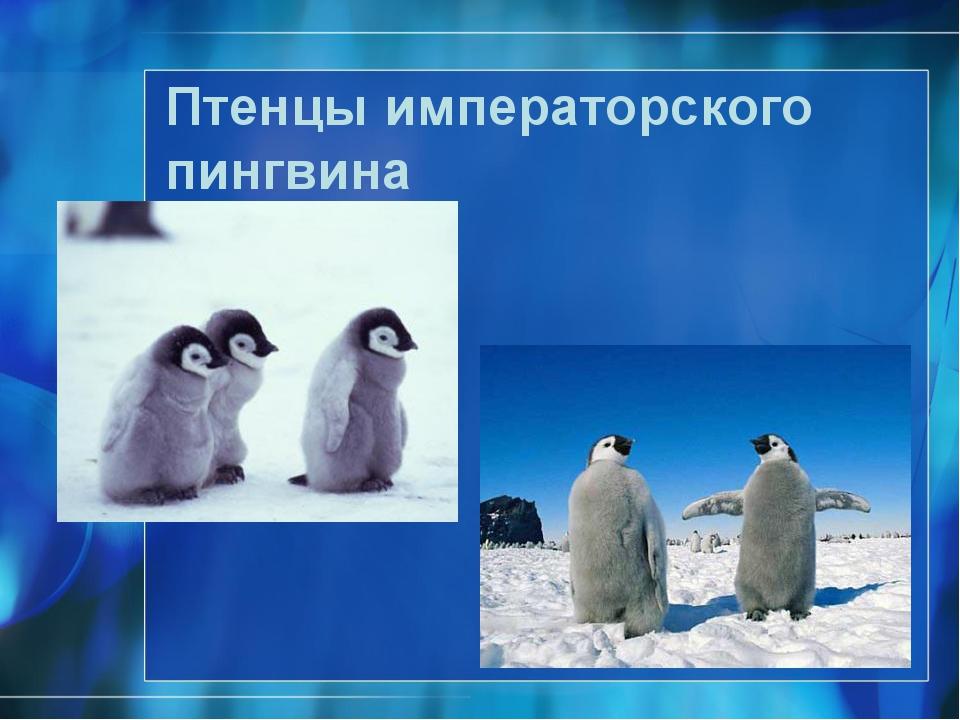 Птенцы императорского пингвина