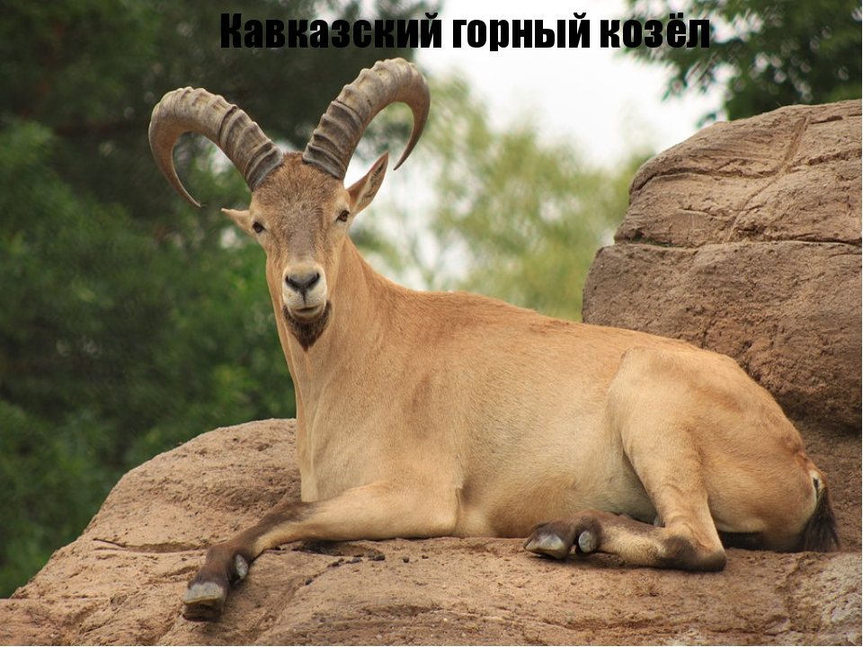 Кавказский горный козёл
