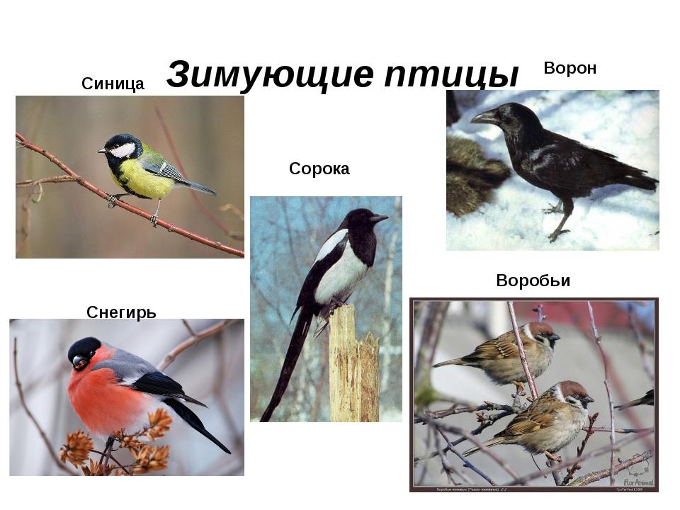 Зимующие птицы Синица Снегирь Ворон Сорока Воробьи