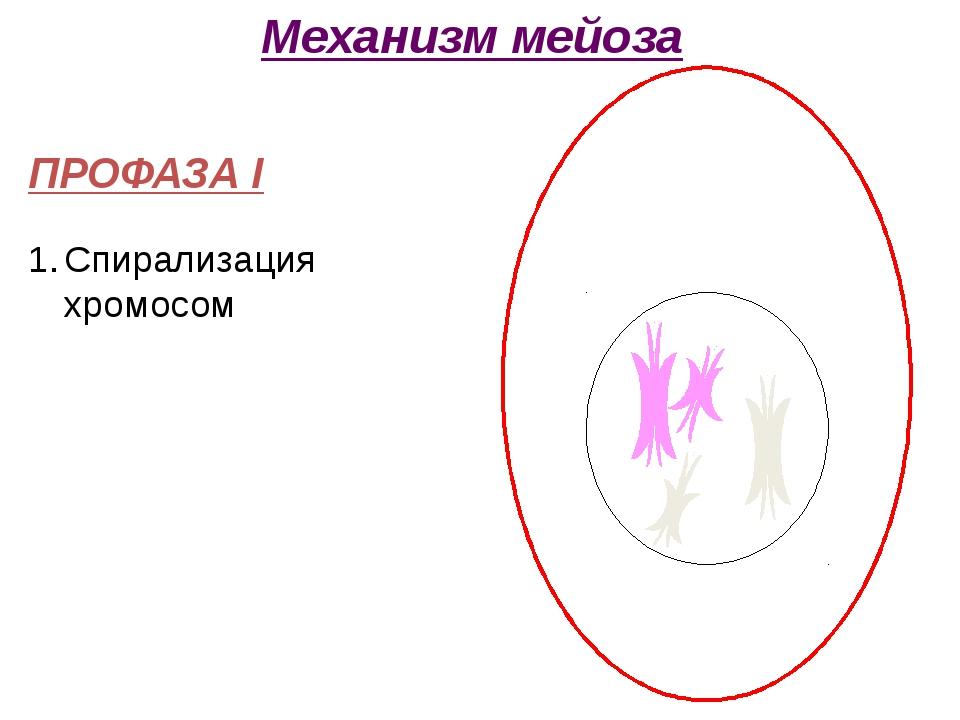 ПРОФАЗА I Спирализация хромосом Механизм мейоза