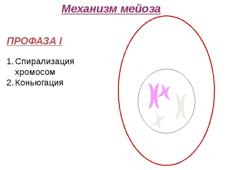 Механизм мейоза ПРОФАЗА I Спирализация хромосом Коньюгация