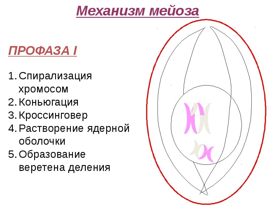 Механизм мейоза ПРОФАЗА I Спирализация хромосом Коньюгация Кроссинговер Раст...
