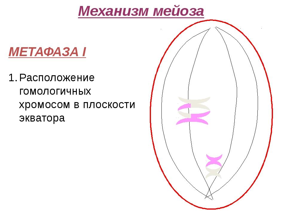 Механизм мейоза МЕТАФАЗА I Расположение гомологичных хромосом в плоскости эк...