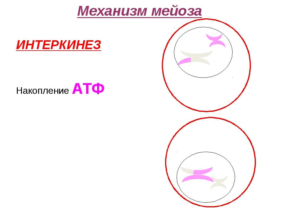 ИНТЕРКИНЕЗ Накопление АТФ Механизм мейоза