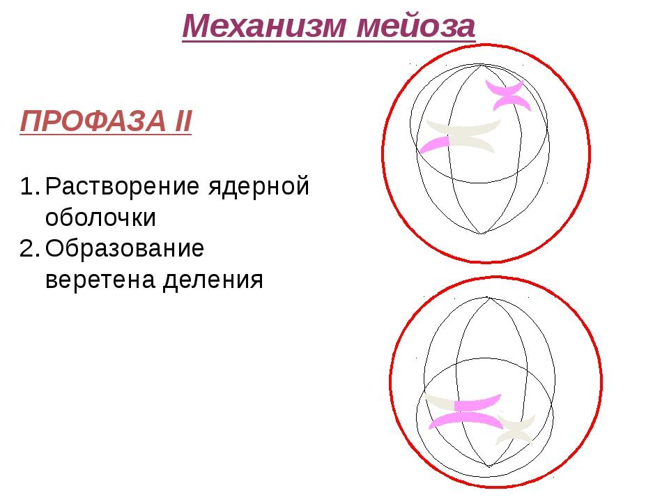 Механизм мейоза ПРОФАЗА II Растворение ядерной оболочки Образование веретена...