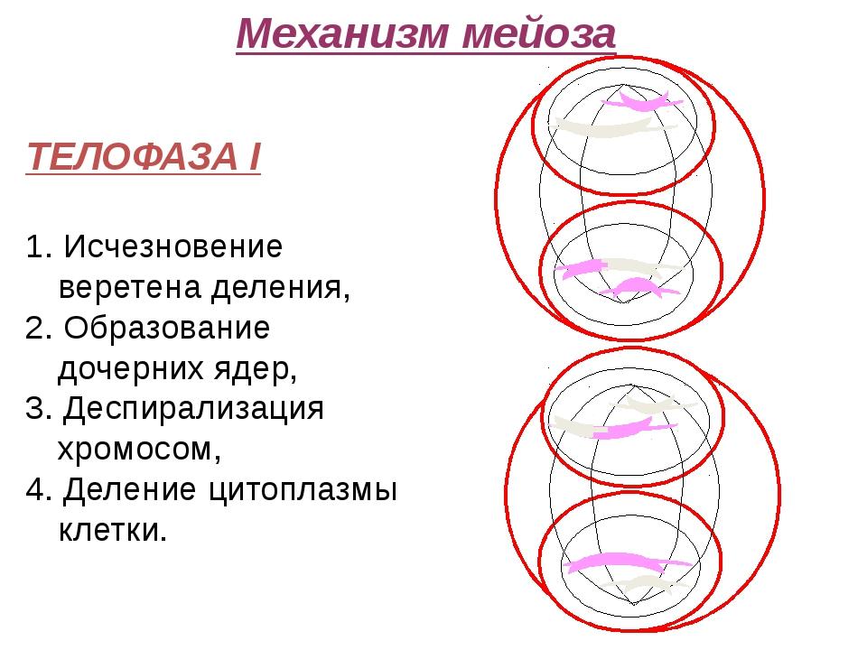 Механизм мейоза ТЕЛОФАЗА I 1. Исчезновение веретена деления, 2. Образование...
